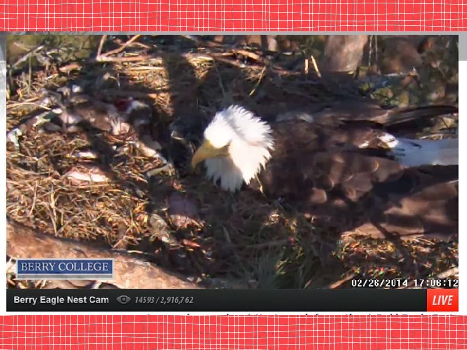America Unit Bald Eagle Live Web Cam